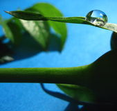 Water drop on a leaf. Single water drop on a leaf royalty free stock photography