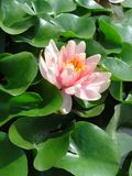 Single water lily. Single pink water lily with green leaves Royalty Free Stock Image