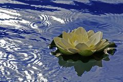 Single Water Lily for an Event. Detail floating in blue water Royalty Free Stock Images