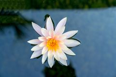Single water lily in pond. Single white water lily with yellow stamen in pond of dark water Royalty Free Stock Photo