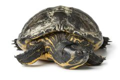 Single water turtle. On white background close up Royalty Free Stock Photos