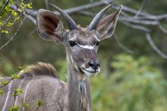 Single waterbuck, Kobus ellipsiprymnus facing camera, with beautiful ears. Kruger National Park, South Africa royalty free stock photo