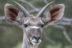 Single waterbuck, Kobus ellipsiprymnus facing camera, with big eyes. And beautiful ears. Kruger National Park, South Africa stock photos