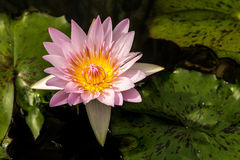 Single Waterlilly on a Lilypad Stock Images