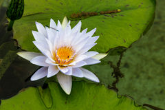 Single Waterlilly on a Lilypad Stock Photography