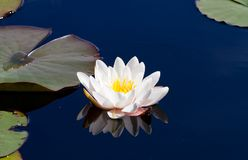 Single waterlily reflecting in water Stock Image