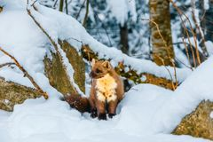Single weasel sitting at snow field Stock Images
