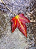 Single wet autumn leaf, red with vibrant green veins, from above on stone rock. Close up of a vibrant autumn leaf, wet from the rain on a natural stone surface Royalty Free Stock Photography
