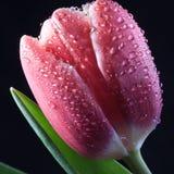 Single wet Bud of the red Tulip macro closeup Stock Image
