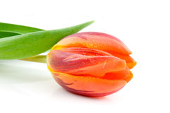 Single wet orange tulip Stock Photos
