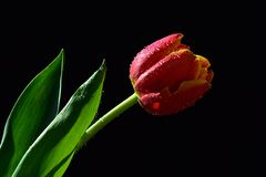 Single wet red to orange tulip flower with green leaves visible on black background Royalty Free Stock Images