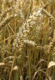 Single wheat. Closeup of single wheat on a sunny day Royalty Free Stock Photos