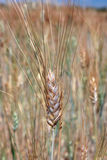 Single wheat Royalty Free Stock Photos