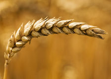 Single wheat ear close up Stock Image