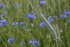 Single wheat ear. On wild flowers background, wheat field, field with growing wheat, green wheat, wheat cultivation Stock Images