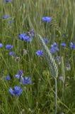 Single wheat ear. On wild flowers background, wheat field, field with growing wheat, green wheat, wheat cultivation stock photo