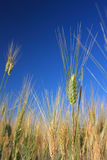 Single wheat over field and blue sky Stock Image