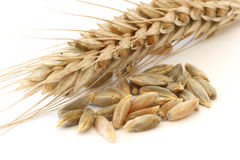 Single wheat spike. Single wheat - corn spike close up and corns / seeds macro view over white background Stock Image