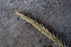 Single wheat spike Stock Photos