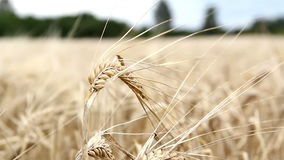 Single wheat stalk swaying stock video footage