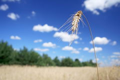Single wheat stem Stock Image
