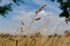 Wheat isolated on blue sky stock images