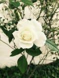 single white fotografering för bildbyråer