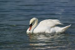 Single white adult mute Swan lat. Cygnus olor is a bird of the duck family - curved neck. Single white adult mute Swan lat. Cygnus olor is a bird of the duck royalty free stock images