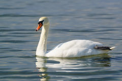 Single white adult mute Swan lat. Cygnus olor is a bird of the duck family - dry the paw afloat. Single white adult mute Swan lat. Cygnus olor is a bird of the stock images