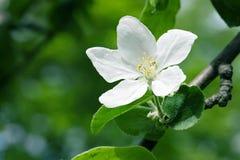 Single white apple tree flower Royalty Free Stock Photography