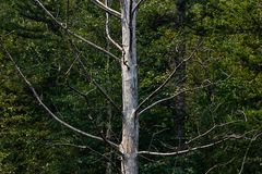 Single white bare tree contrasted against green forest stock photo
