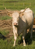 Beef Cow Royalty Free Stock Photography