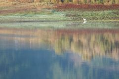 Single white bird wades through reflective water Royalty Free Stock Image