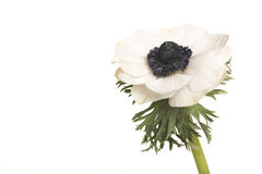 Single white blooming anemone flower. Isolated on a white background royalty free stock photo