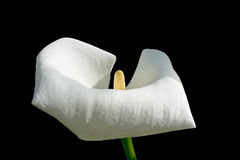 Single white calla flower royalty free stock photography