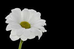 Single white camomile on a black background Royalty Free Stock Photo