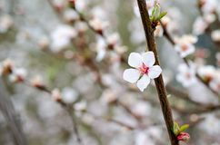 Single white cherry flowers closeup stock photography