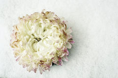 Single white Chrysanthemum flower without a stalk resting on a white snow bac Stock Image