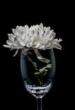 Single white Chrysanthemum in glass. On black background Royalty Free Stock Images
