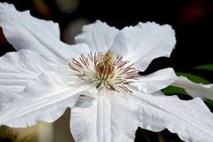 Single white clematis flower Stock Photo