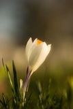 Single white crocus in the meadow Stock Image