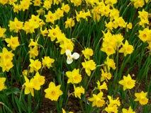 A single white daffidol among yellow stock photography