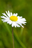 Single white daisy Stock Images