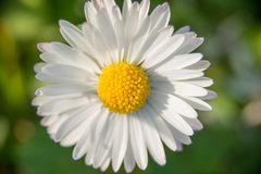 Single white daisy closeup Stock Photo