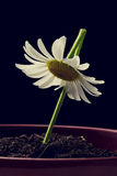 Single white daisy in a flower pot Stock Photography