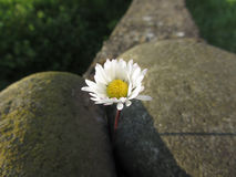 Single white daisy flower between the stones at sunset . Tuscany, Italy Stock Photography