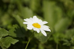 Single white daisy. Hectares of green meadow stock photography