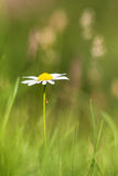 Single White Daisy (Leucanthemum vulgare) in a Green Agricultura Stock Images