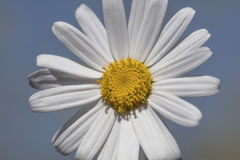 Single White Daisy Stock Photography