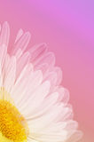 Single White Daisy on Pink Stock Photo